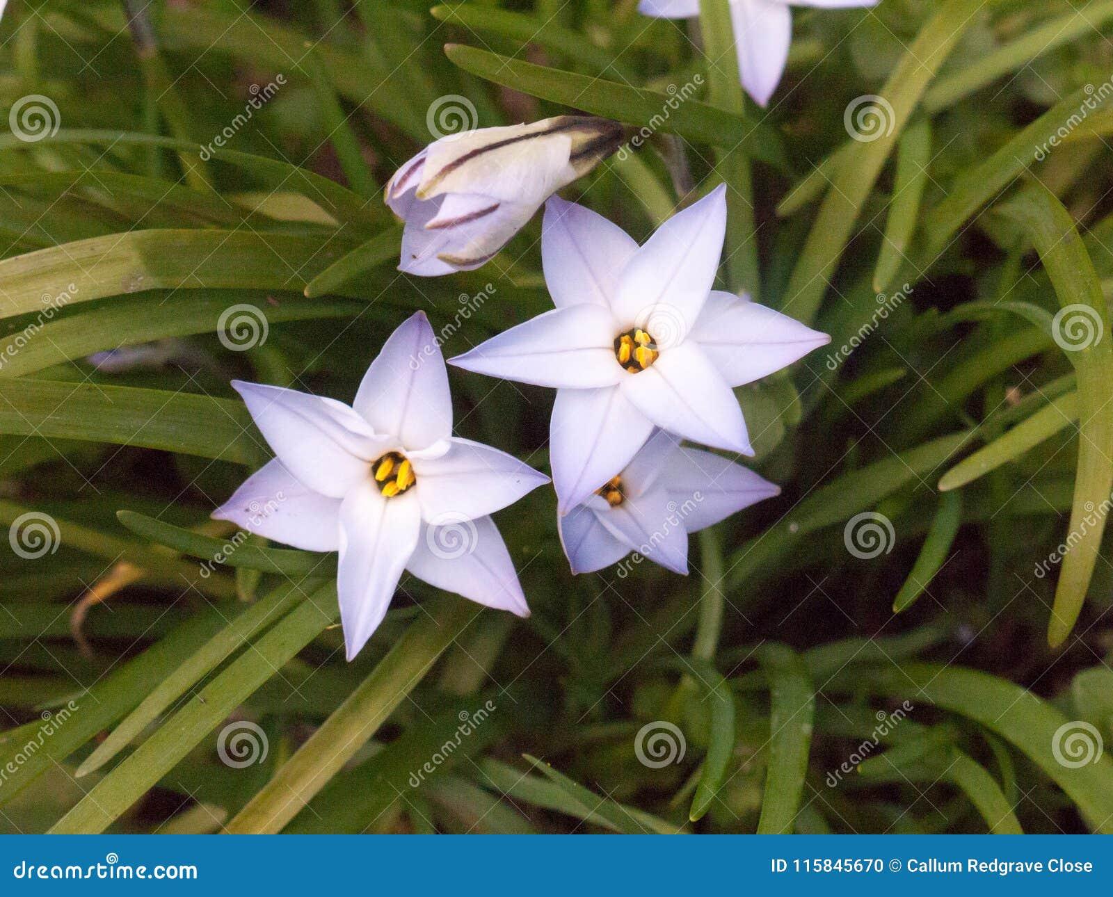 Spring Starflower Ipheion Uniflorum Wisley Blue Close Up Stock