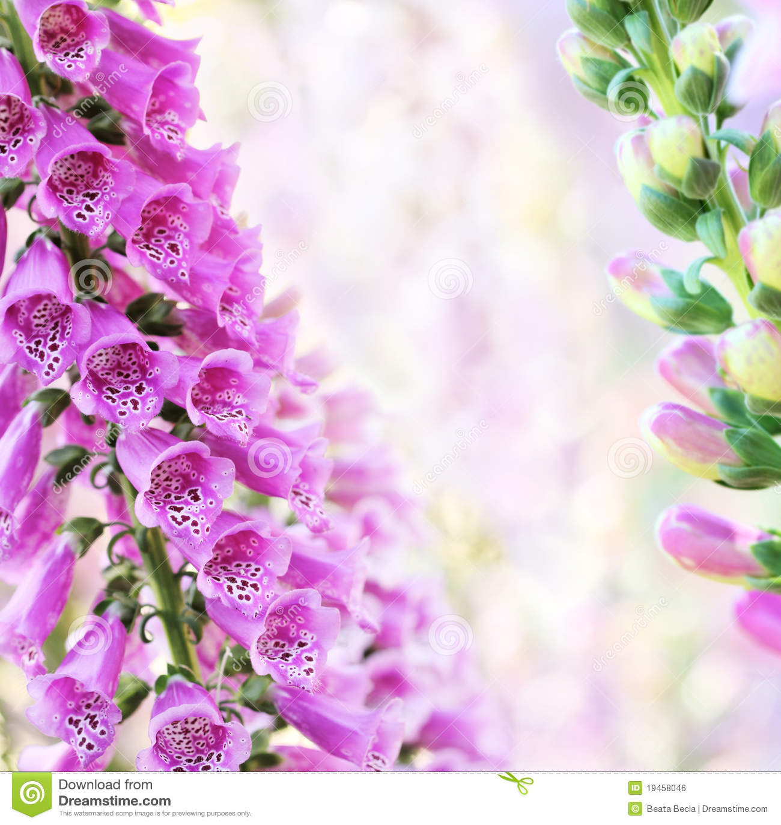 Spring Summer Digitalis Or Foxglove Flowers Stock Photo Image Of