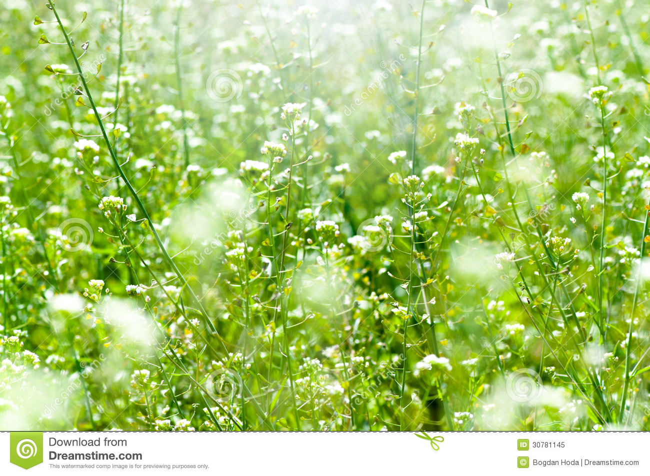 Spring And Summer Wallpaper With Green Grass And White Flowers Stock