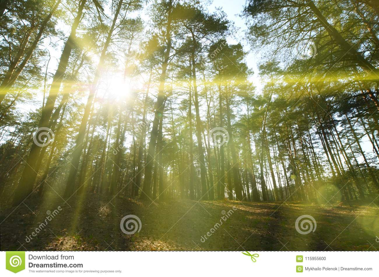 Spring sunny landscape in a pine forest in bright sunlight. Cozy forest space among the pines, dotted with fallen cones and conif