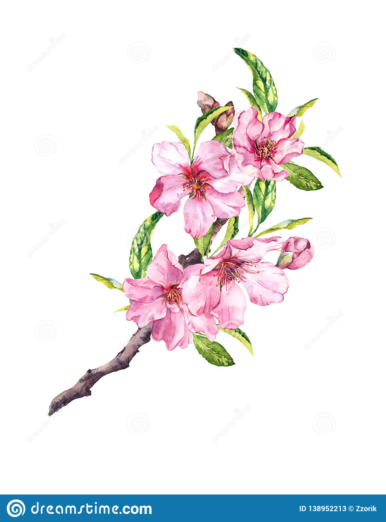 Spring time pink flowers. Cherry, apple, sakura blossom floral branch. Watercolour