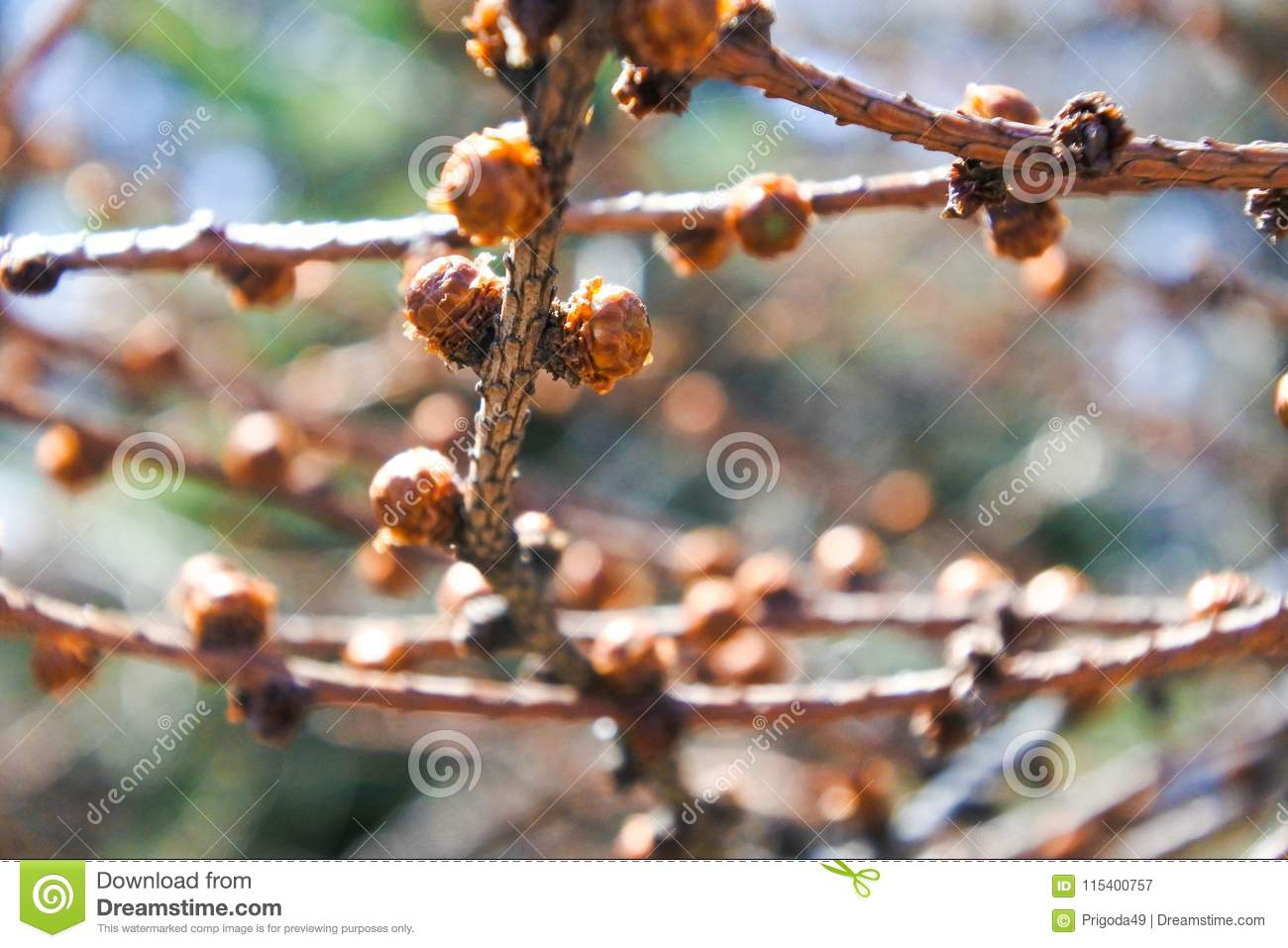 Awaking leaves on a tree branches