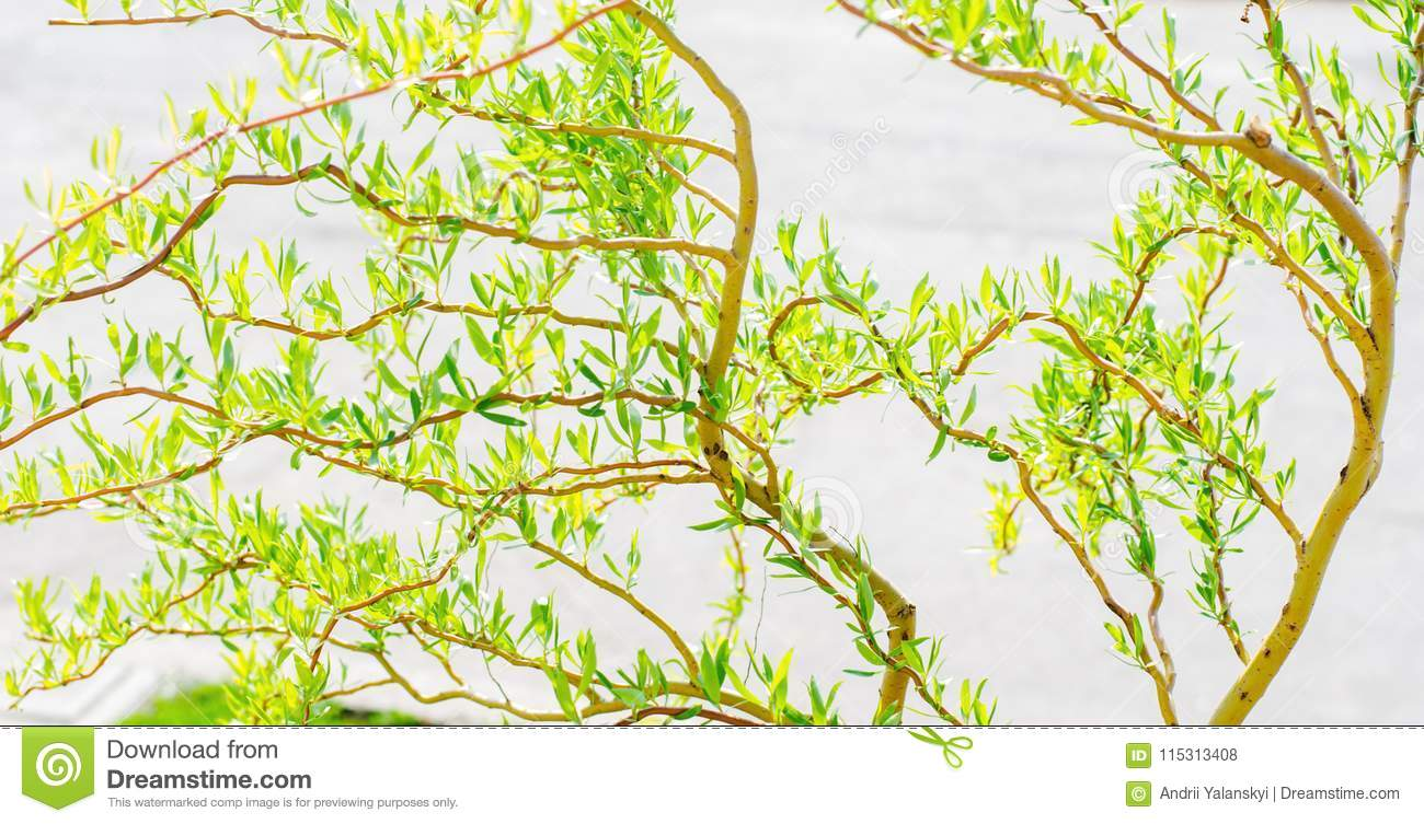 A Spring Tree With Green Leaves Background For Design