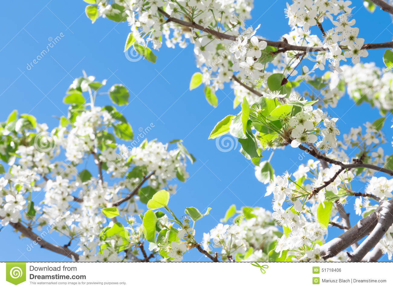 Spring tree with white flowers stock photo image of against spring tree with white flowers izmirmasajfo