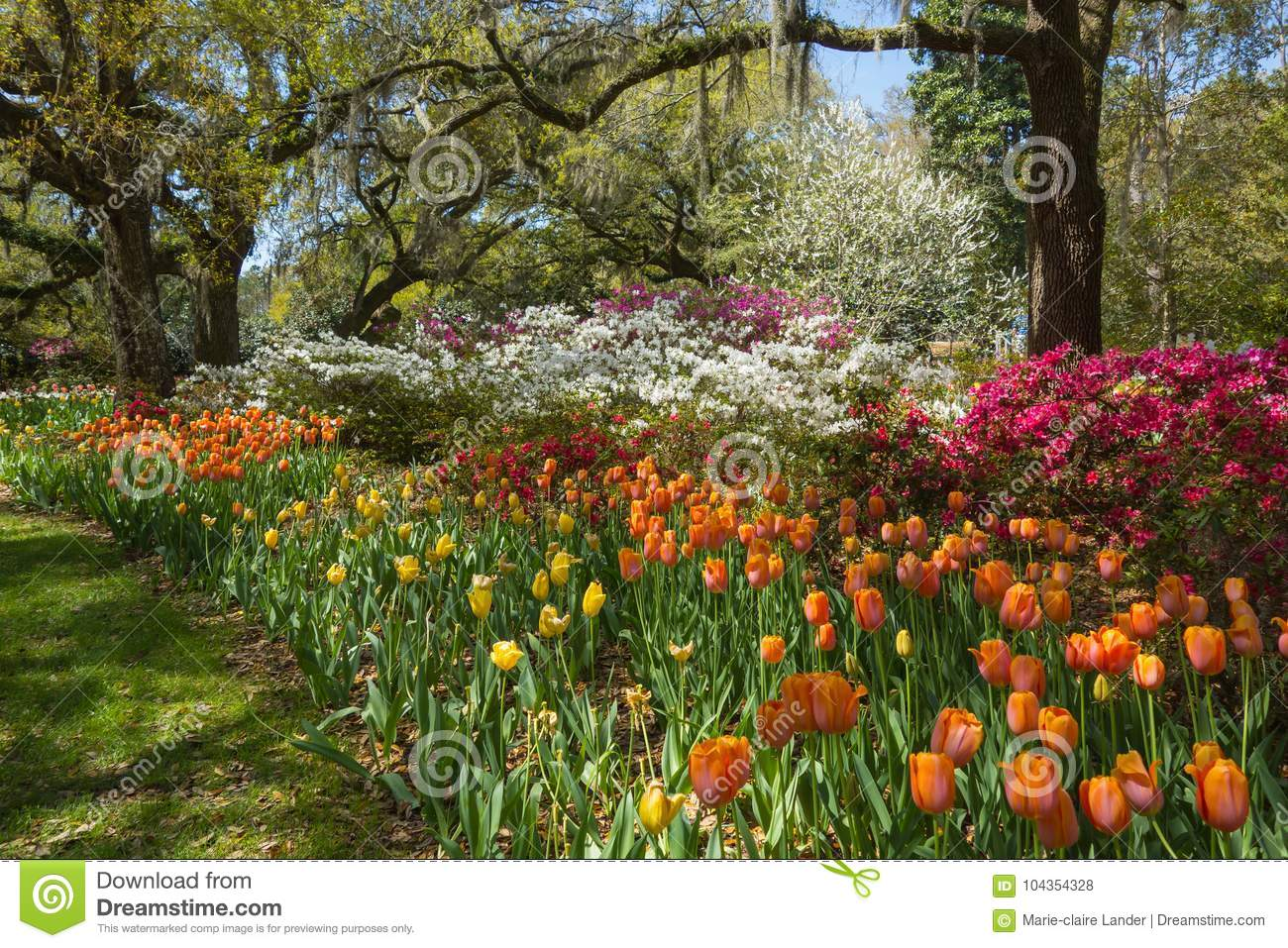 Spring Tulip Bed In Southern Garden Stock Photo - Image of tulips ...