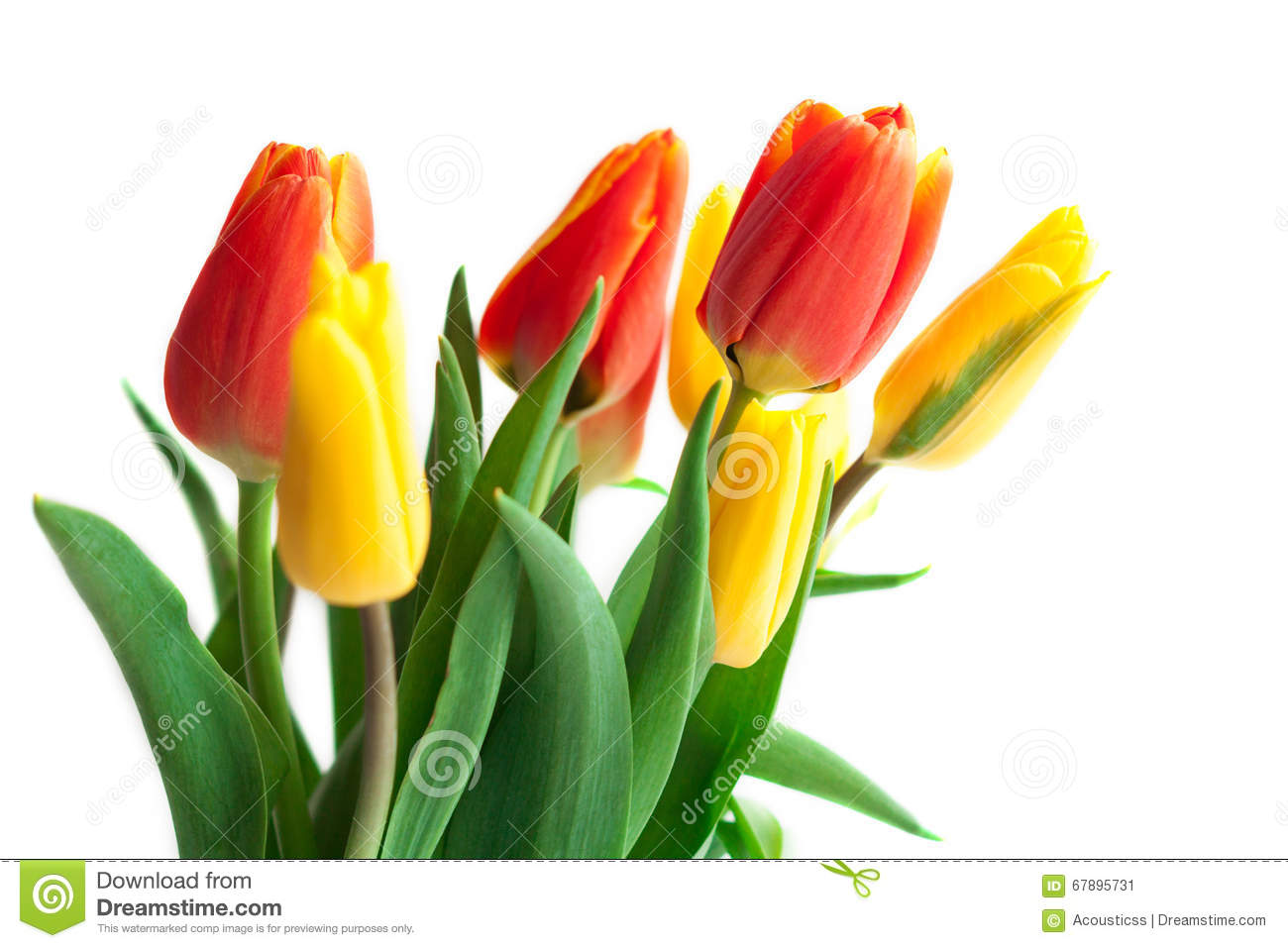 Spring Tulip Flowers Over White Tulips Bunch Floral Border Des