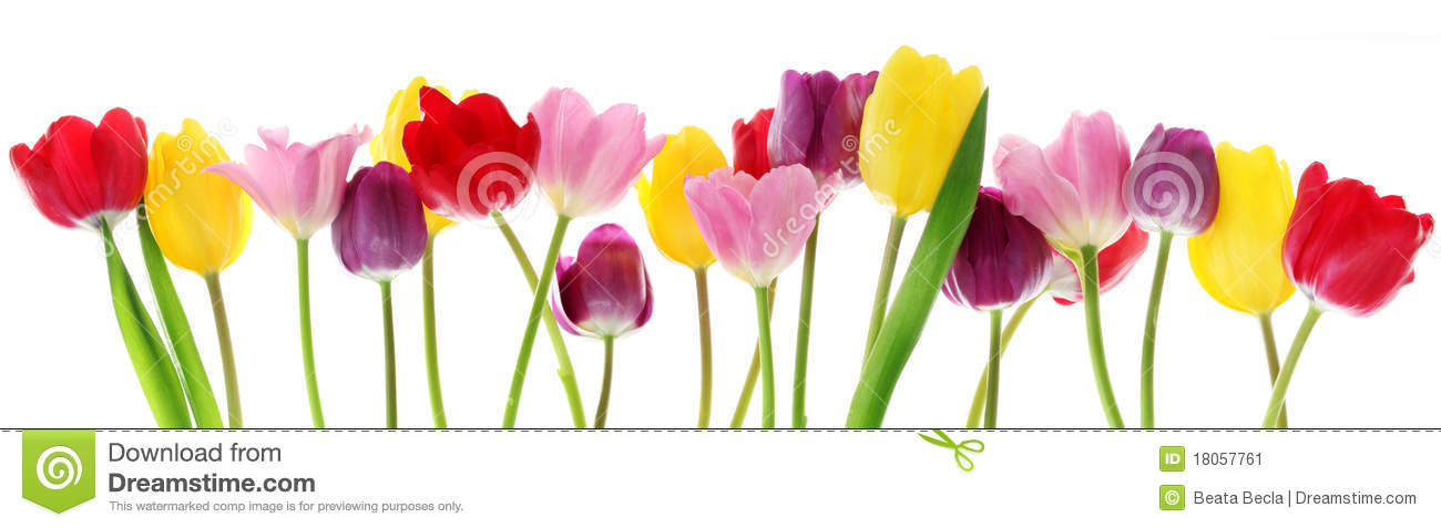 Colorful fresh spring tulips flowers border in a row on white ...