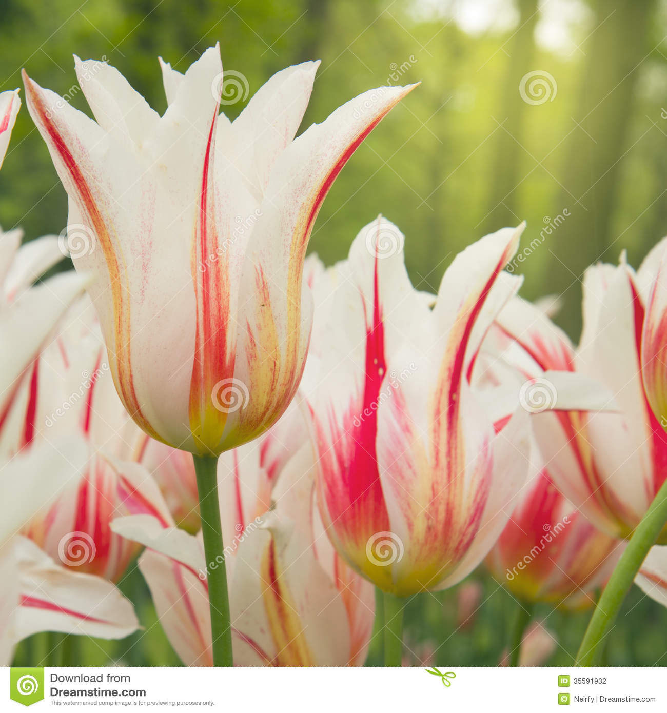 Spring Tulips Close Up Stock Photography - Image: 35591932: dreamstime.com/stock-photography-spring-tulips-close-up-dutch-white...