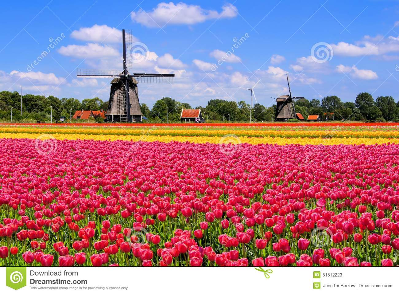 Colorful spring tulips with traditional Dutch windmills, Netherlands.