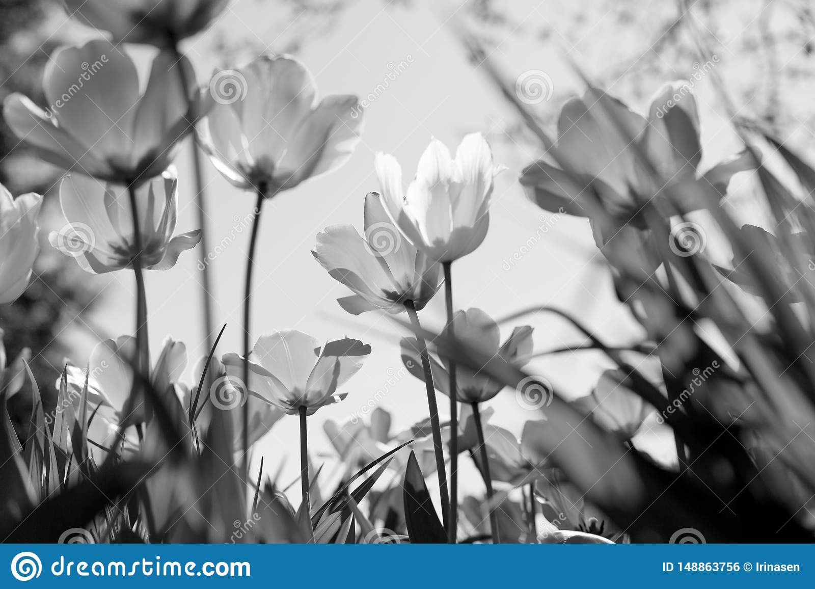 Spring tulips in the park, black and white