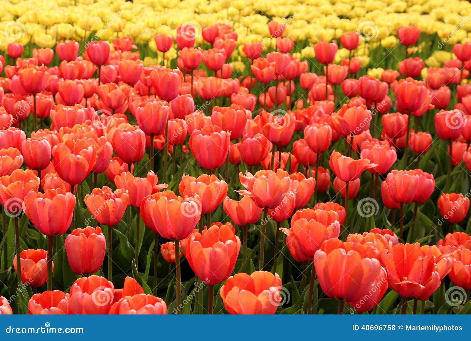 Spring Tulips In Full Bloom, Tulip Festival In Turkey