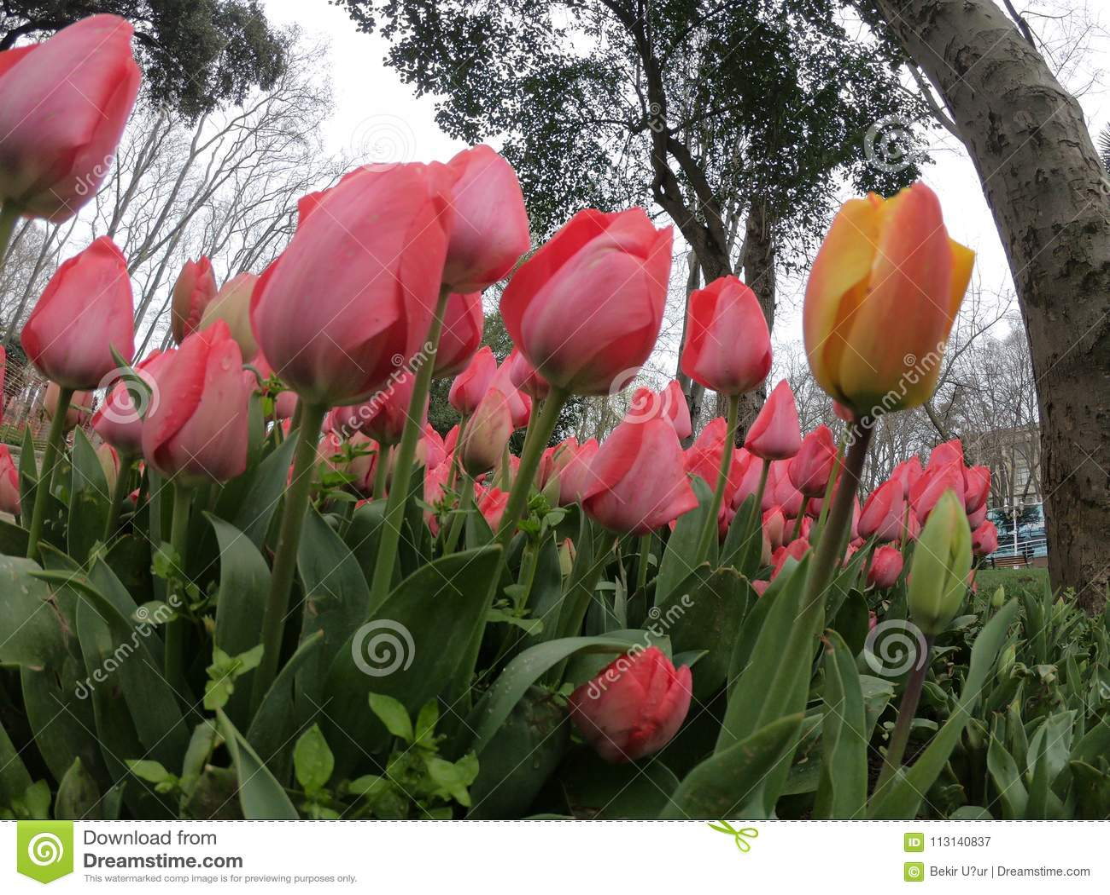 Tulips in Full Bloom -Cincinnati Zoo - YouTube