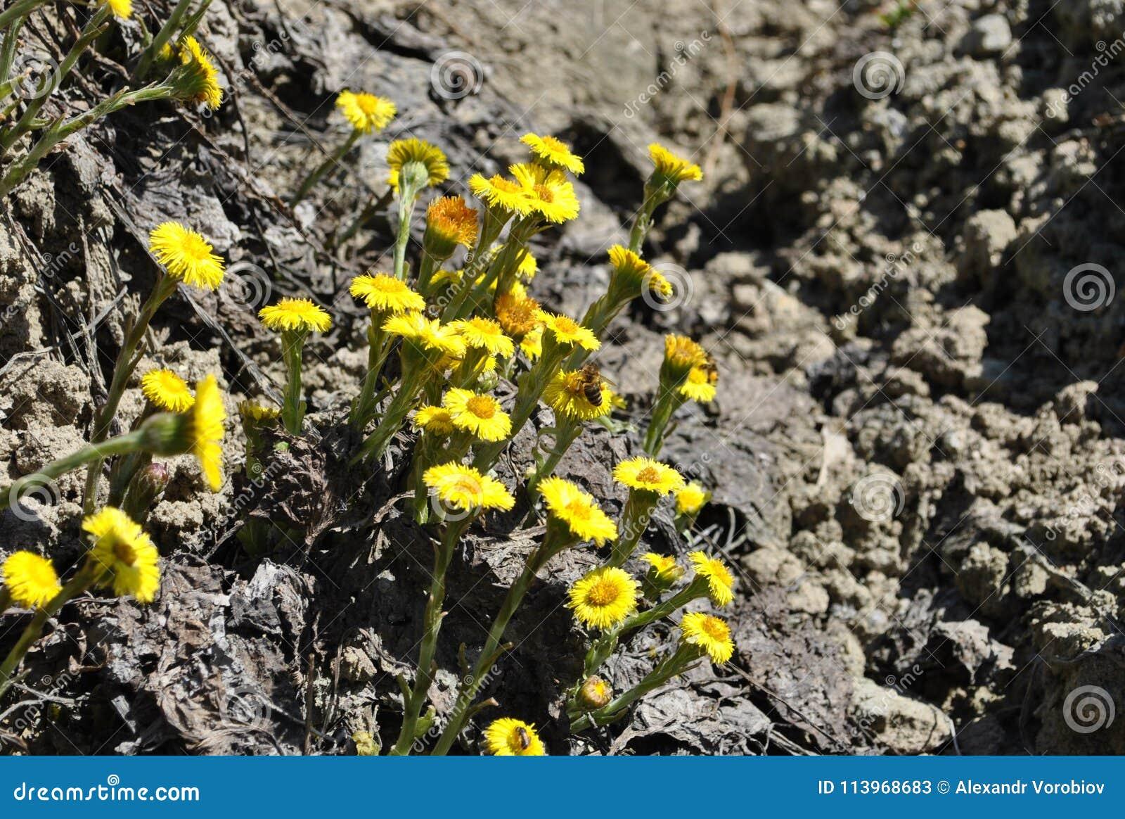 Spring Tussilgo Frfara Medicinal Plants Stock Image Image Of