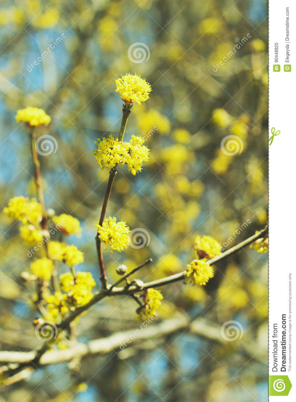 Spring View Beautiful Blooming Tree With Yellow Flowers Stock Photo