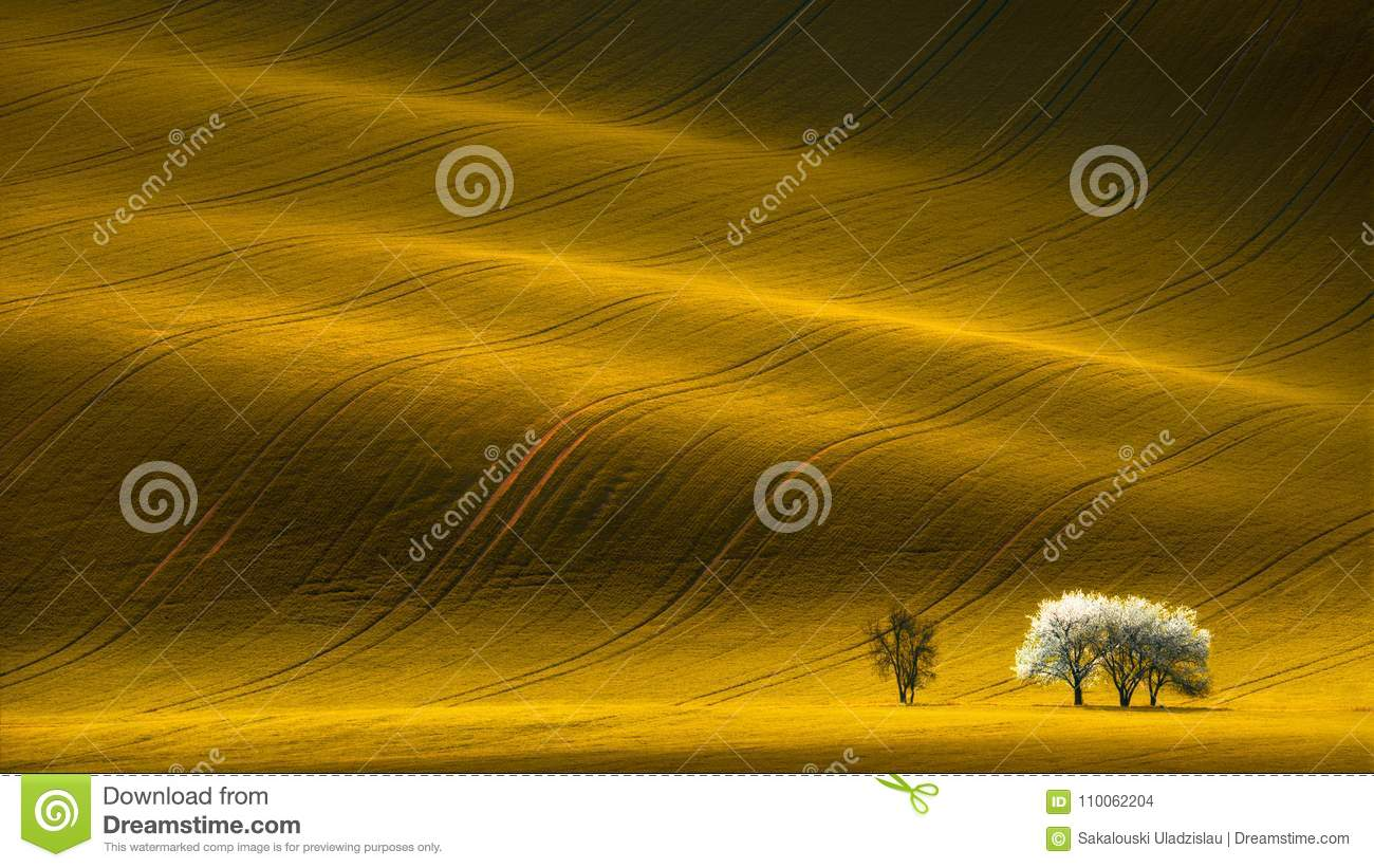 Spring Wavy Yellow Rapeseed Field With White Tree And Wavy Abstract Landscape Pattern