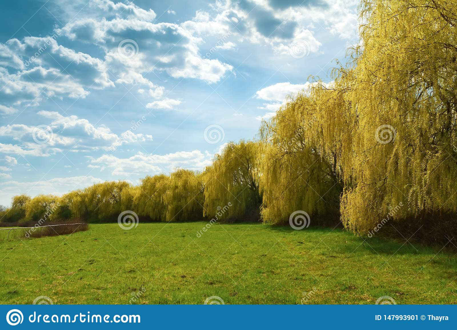 Spring weeping willow trees in park. Spring background. Copy space