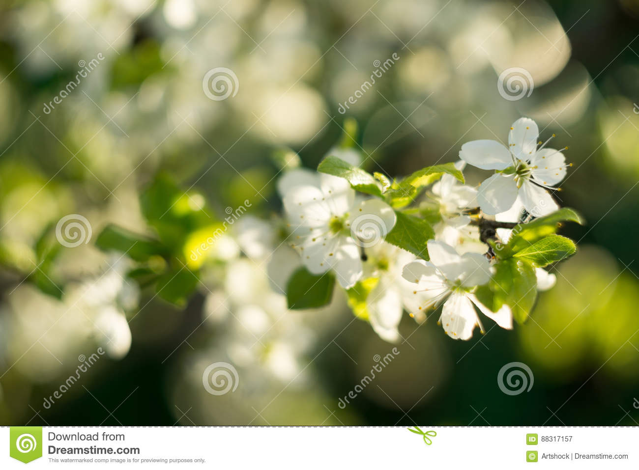Spring White Blooming Trees Stock Image Image Of Leaf Flora 88317157