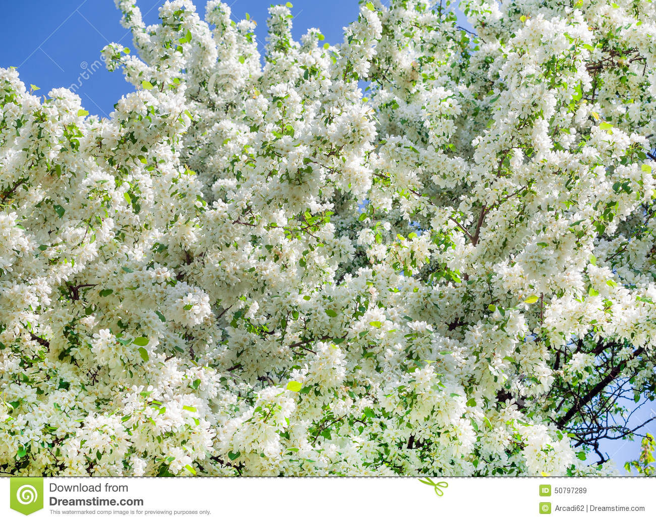 Spring White Flowers The Trees Stock Image