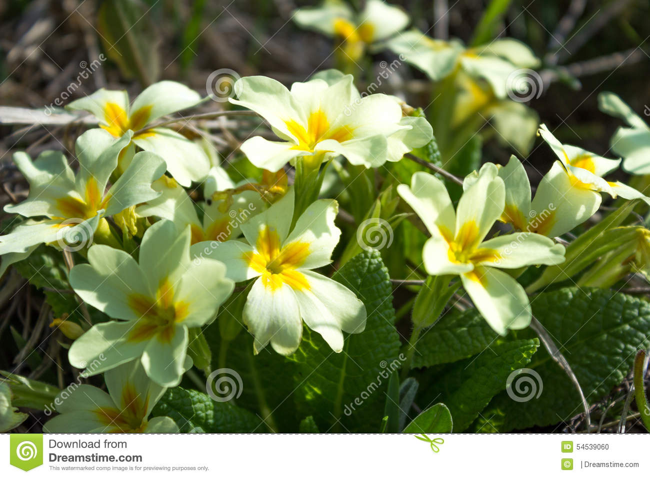 Spring white flowers with yellow middle of stock photo 54539060 spring white flowers with yellow middle of mightylinksfo