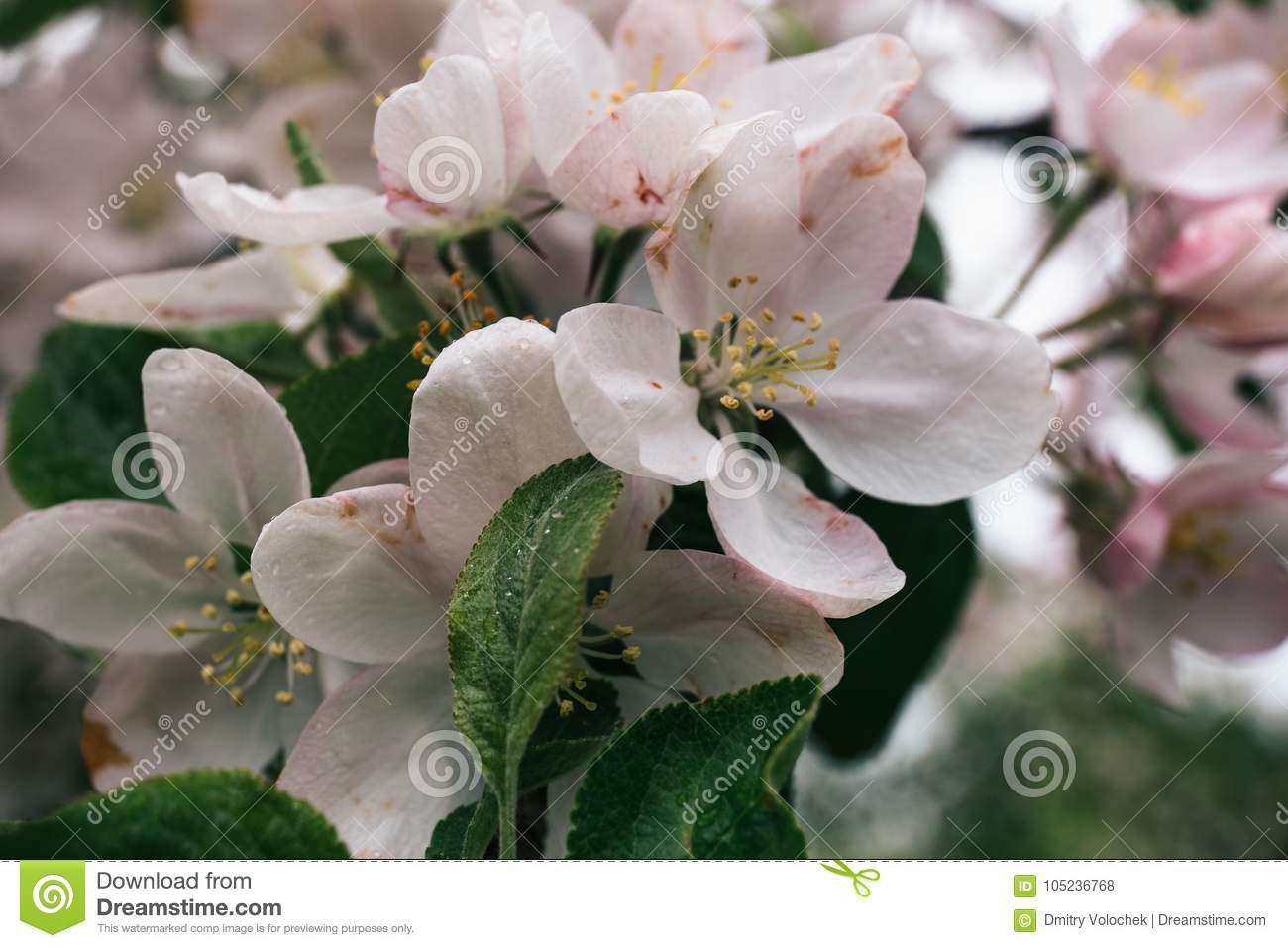 Spring White And Pink Flowers Apple Tree Blossom With Green Leaves