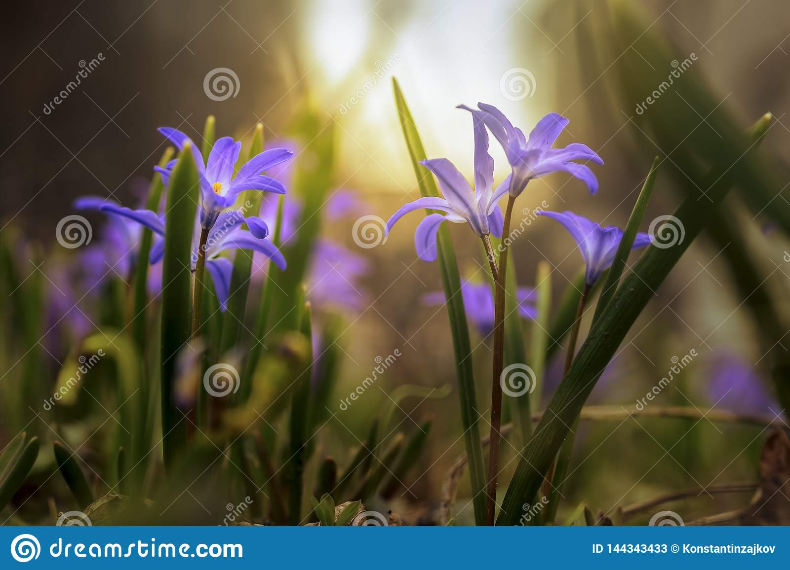 Spring wild blue flowers on mystical, fabulous meadow in sunny light. Dreamy gentle artistic image