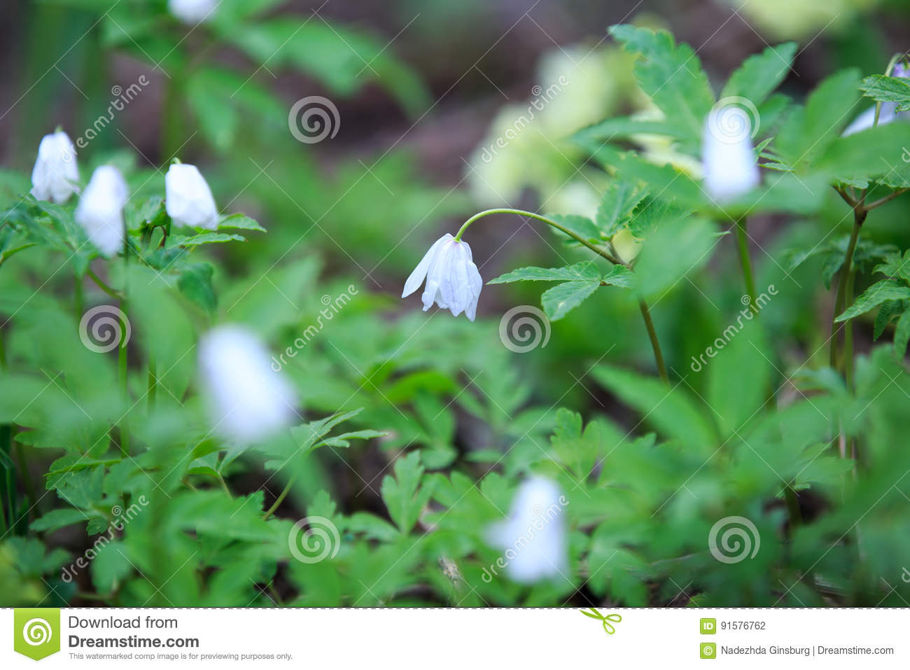 Spring Wild Flowers In Spring In The Forests Of Siberia Stock Photo