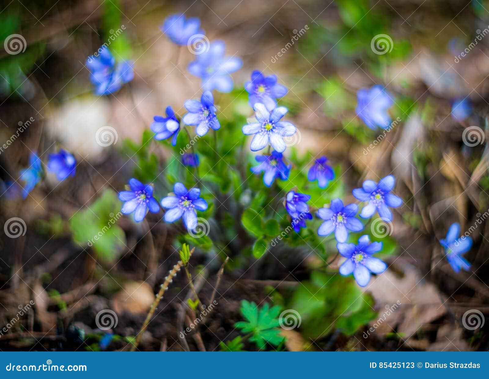 Spring wild violets