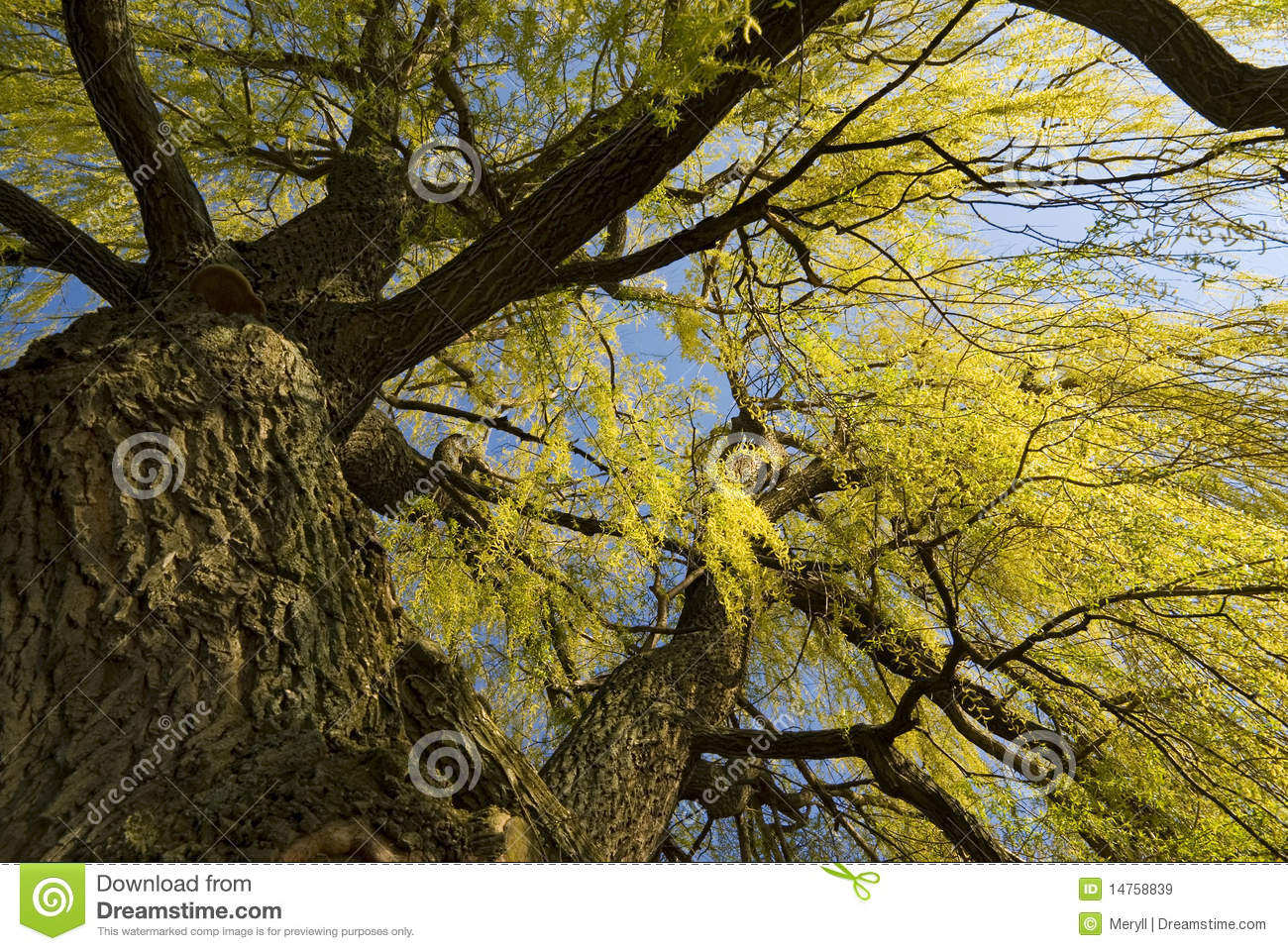 Spring willow tree background