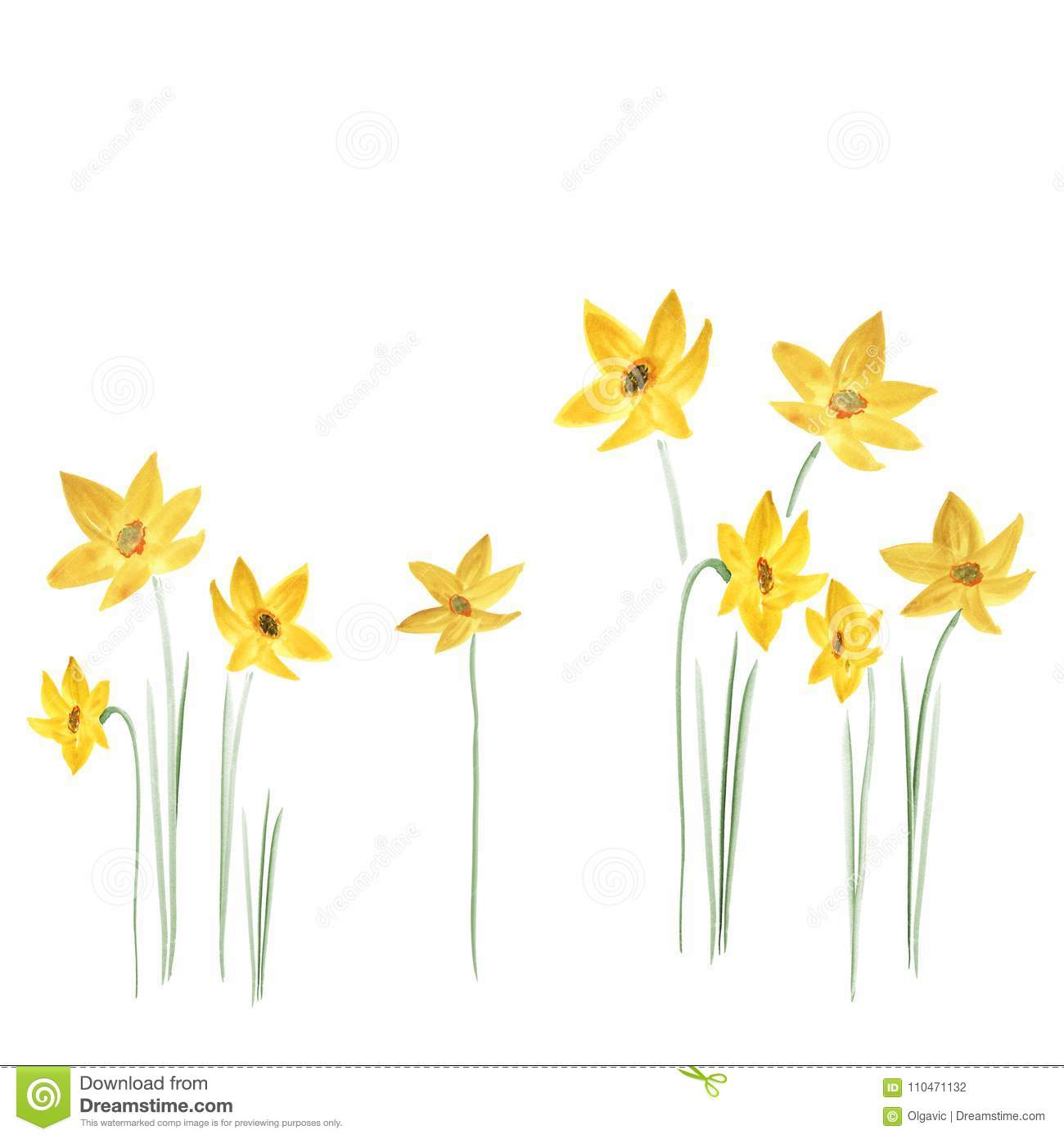 Spring Yellow Flowers Of Daffodils On A White Background Isolated