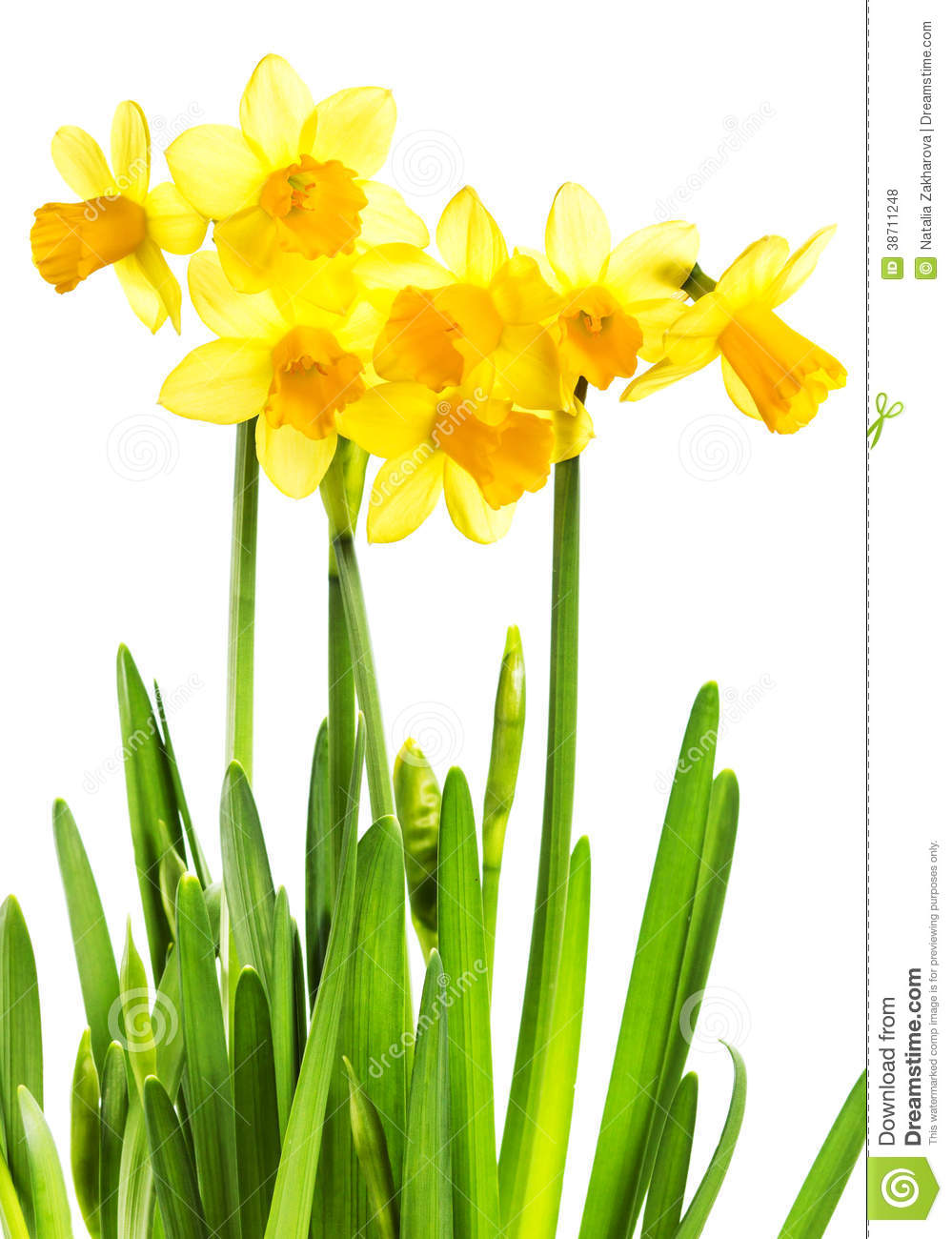 Spring Yellow Flowers Isolated On White Stock Photo Image Of Grass