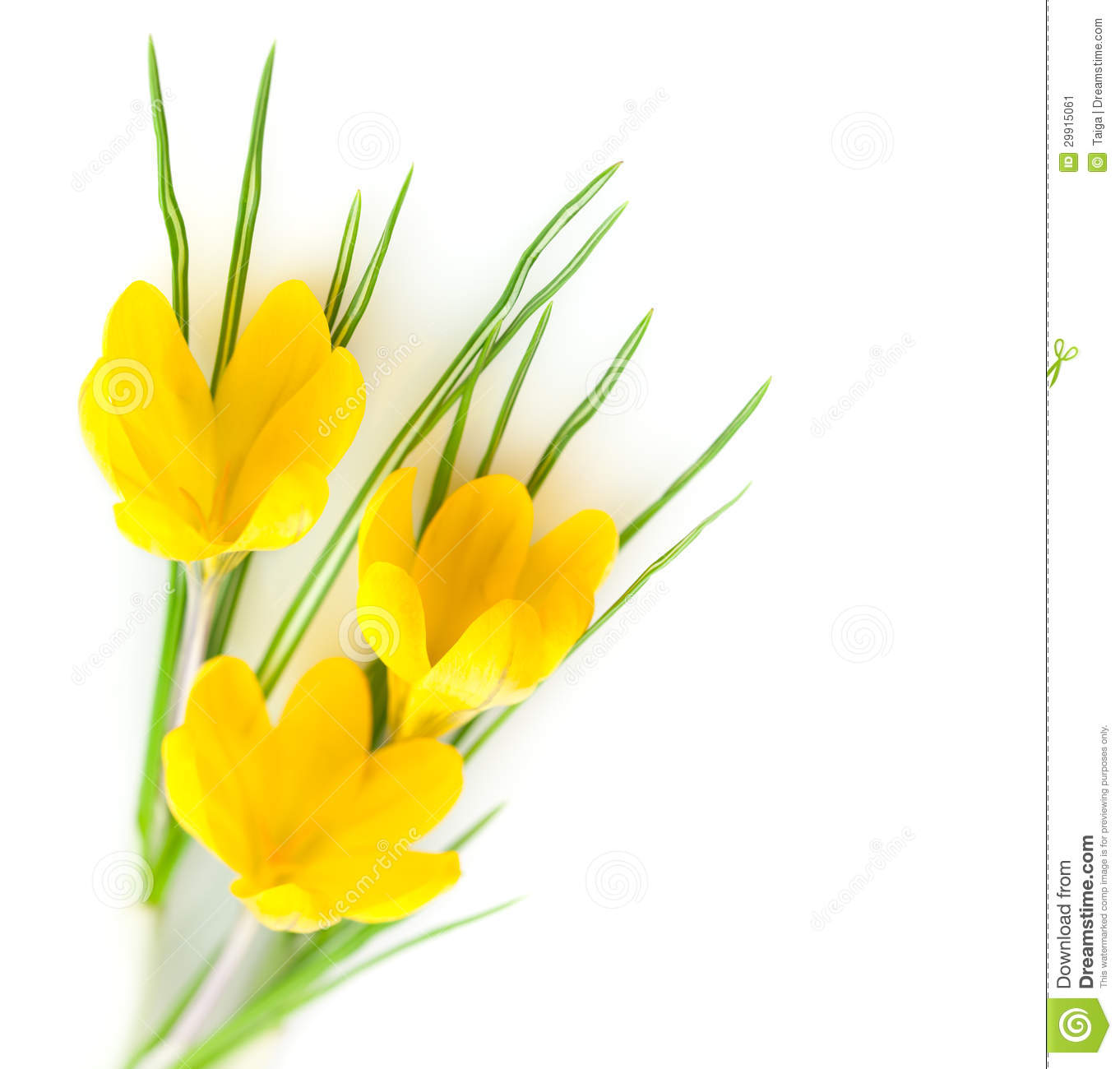 Spring yellow flowers crocuses stock image image of march spring yellow flowers crocuses mightylinksfo