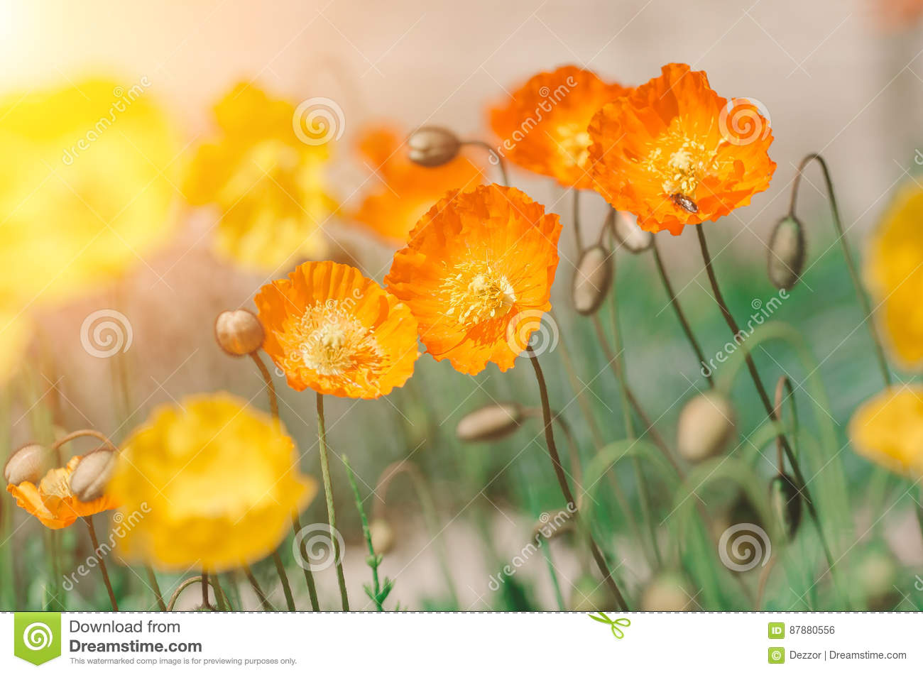 Spring Yellow And Orange Poppy Flowers In The Sun Stock Photo