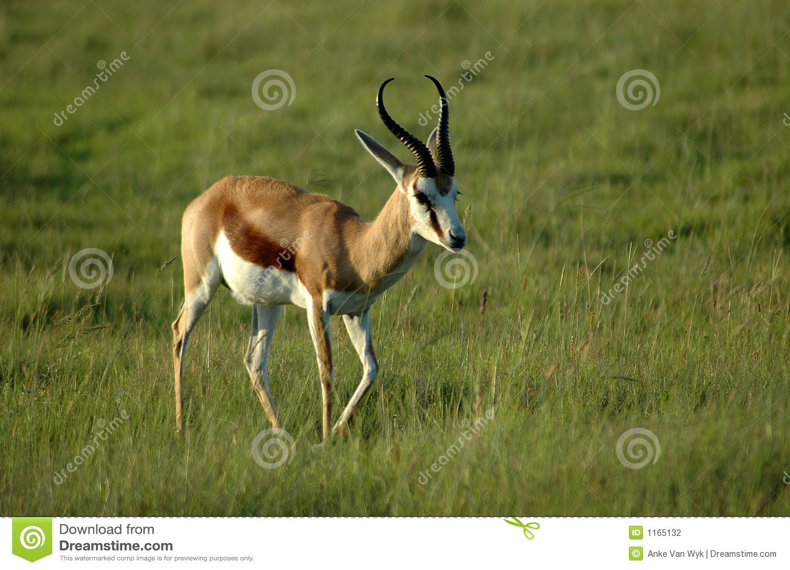 Springbock Stock Photo. Image Of Buck, Deer, Bush, Animal