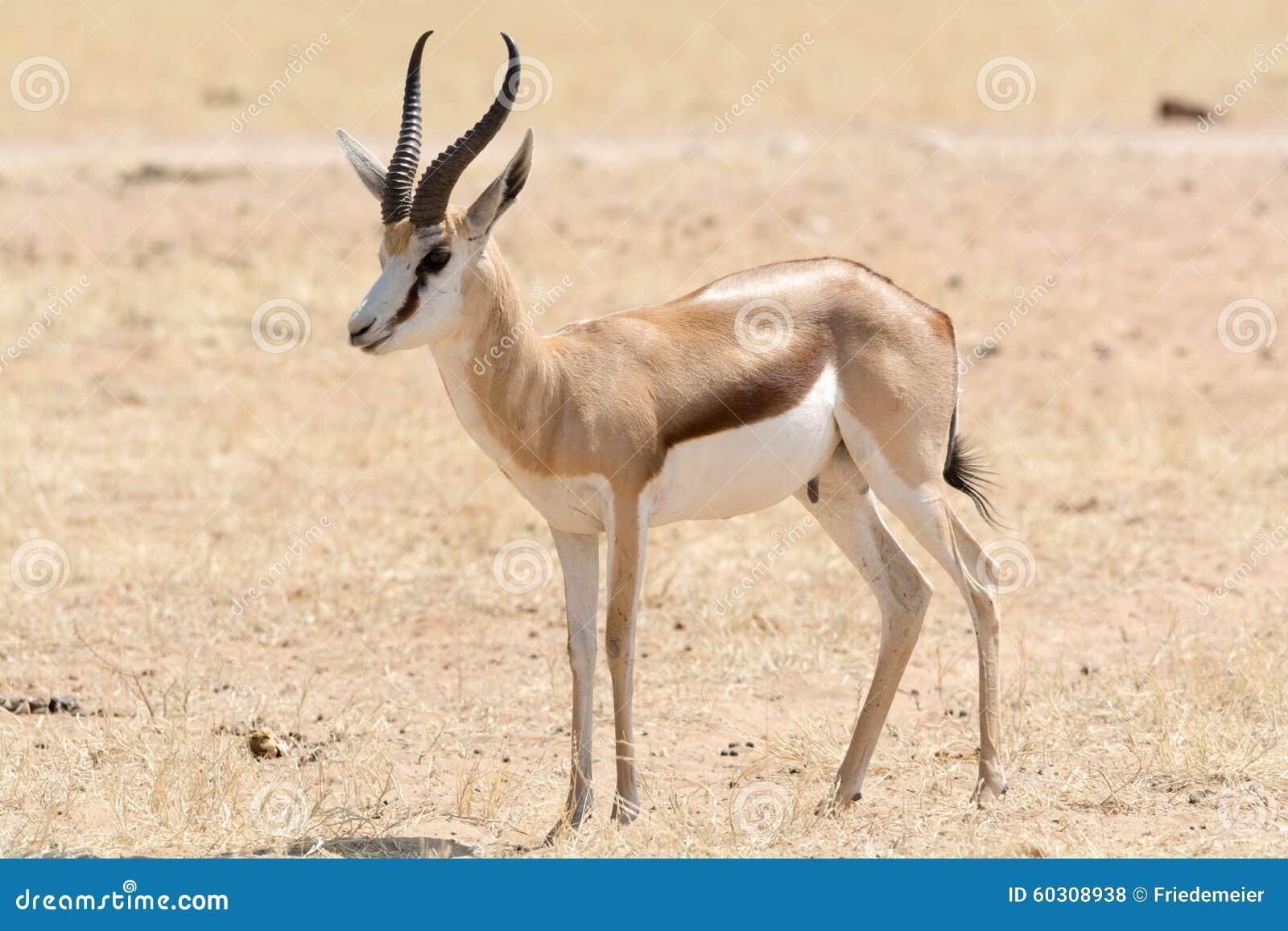Springbock, Portrait Stock Photo. Image Of Antilope