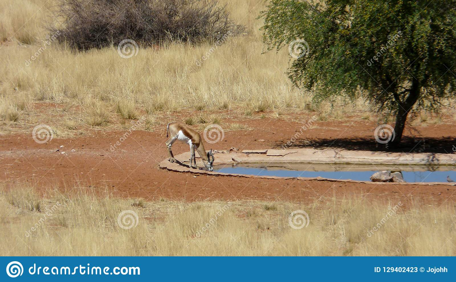 Springbock som dricker på en waterhole i Namibia