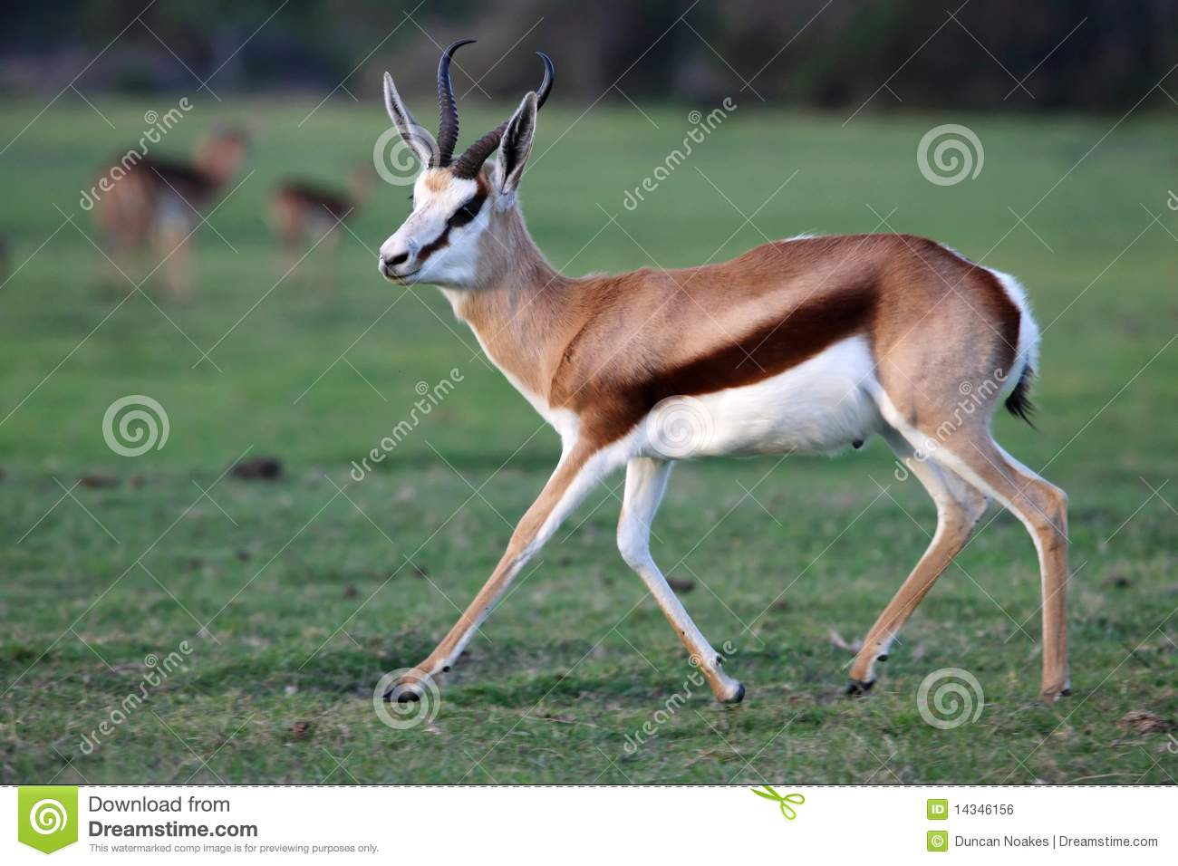clipart springbok - photo #37