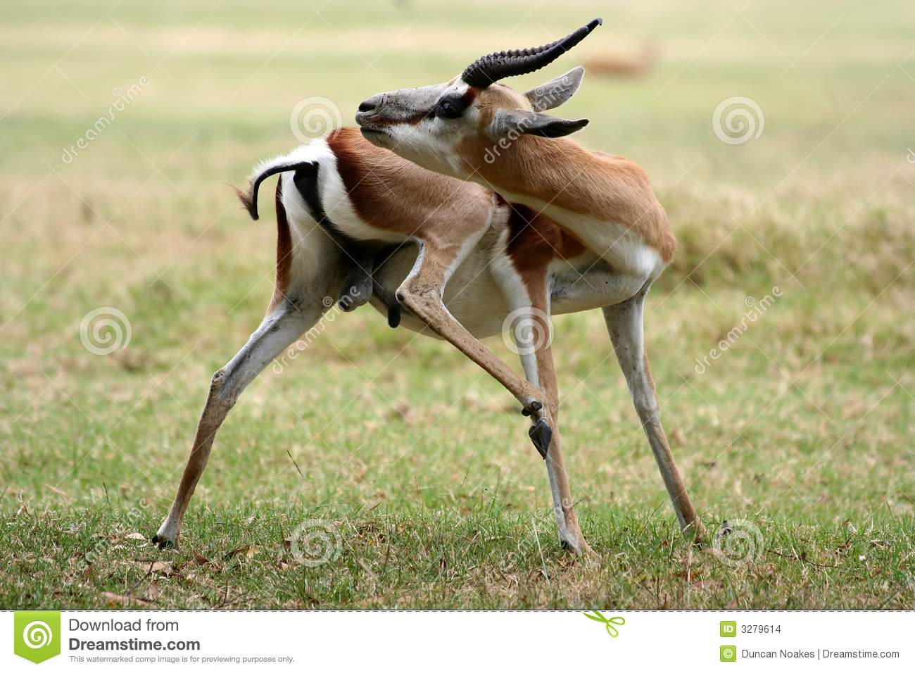 clipart springbok - photo #46