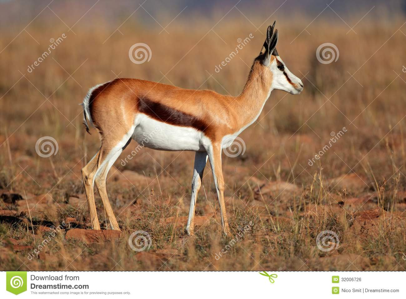 Side view of a springbok antelope (Antidorcas marsupialis), South ...