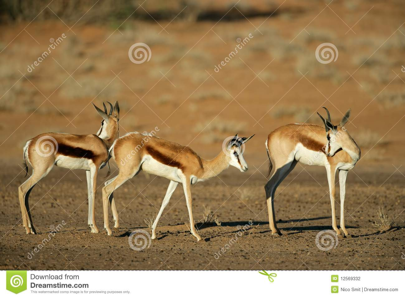Springbok South Africa  city images : Springbok Antelopes, South Africa Stock Photography Image: 12569332