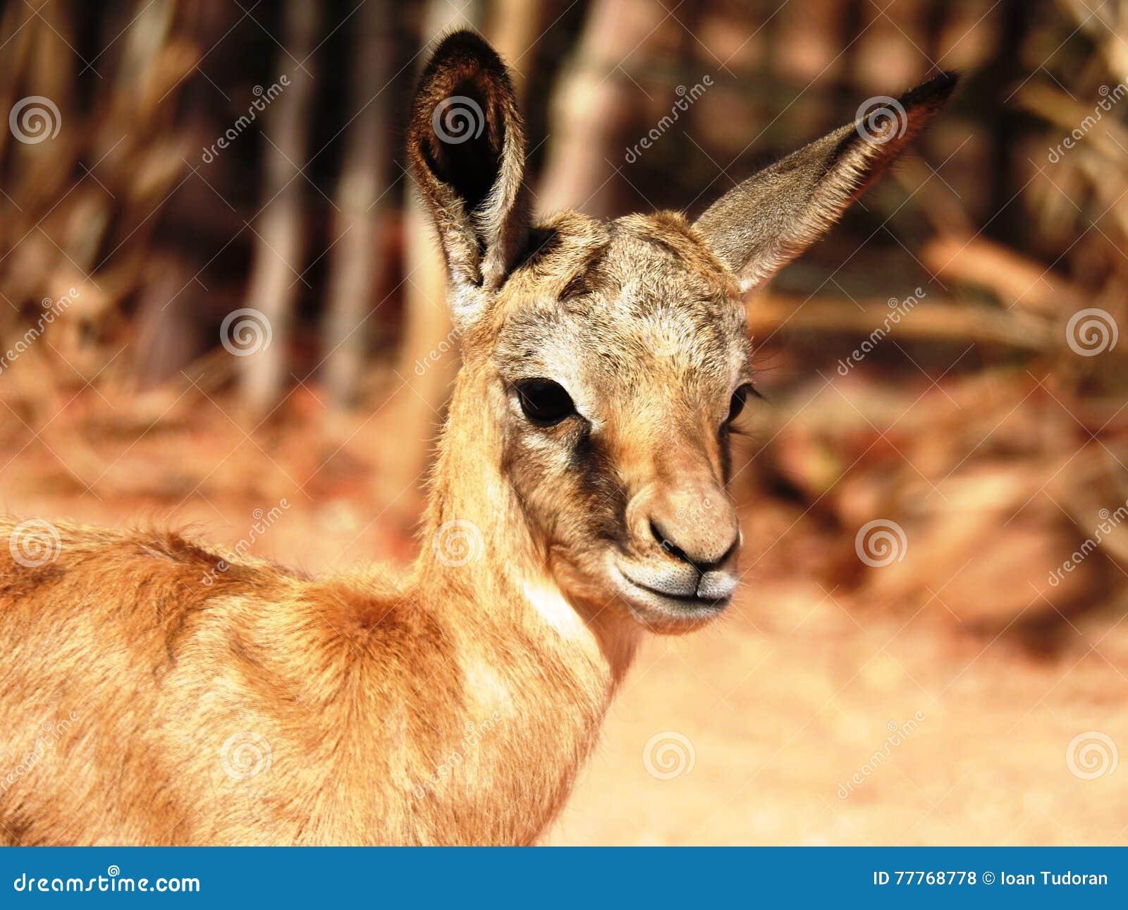 Springbok Baby