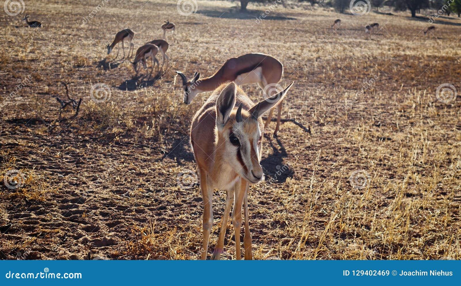 Springbok curieux approchant l appareil-photo