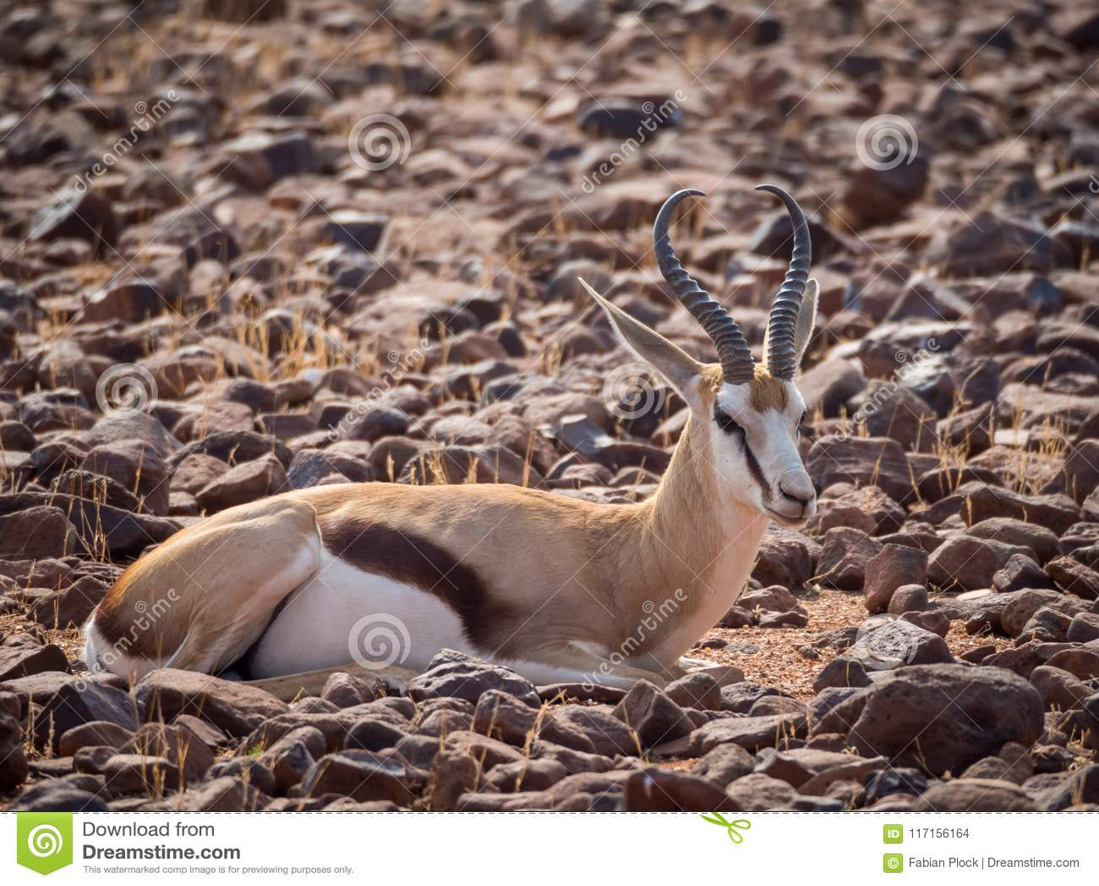 Springbok die in rotsachtig terrein bij Palmwag-Concessie van Damaraland, Namibië, Zuid-Afrika leggen