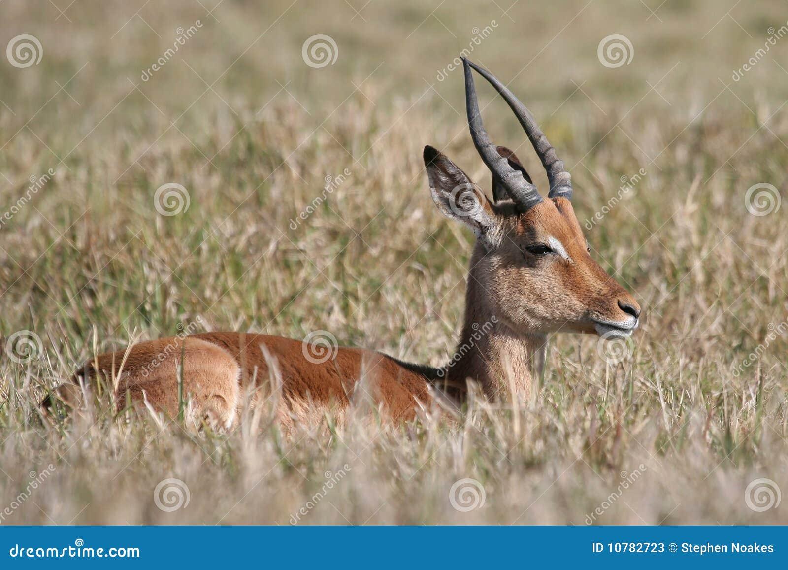 Springbok en lang gras