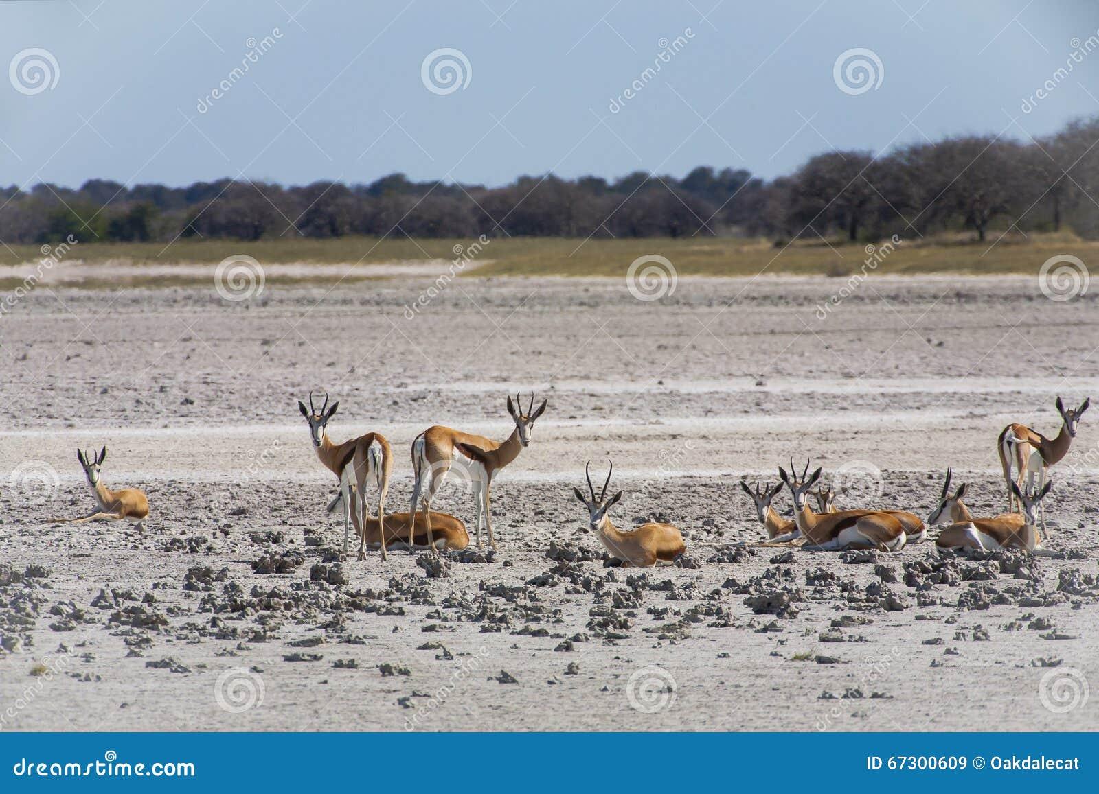 Springbok Herd in Makgadikgadi Pan, Botswana
