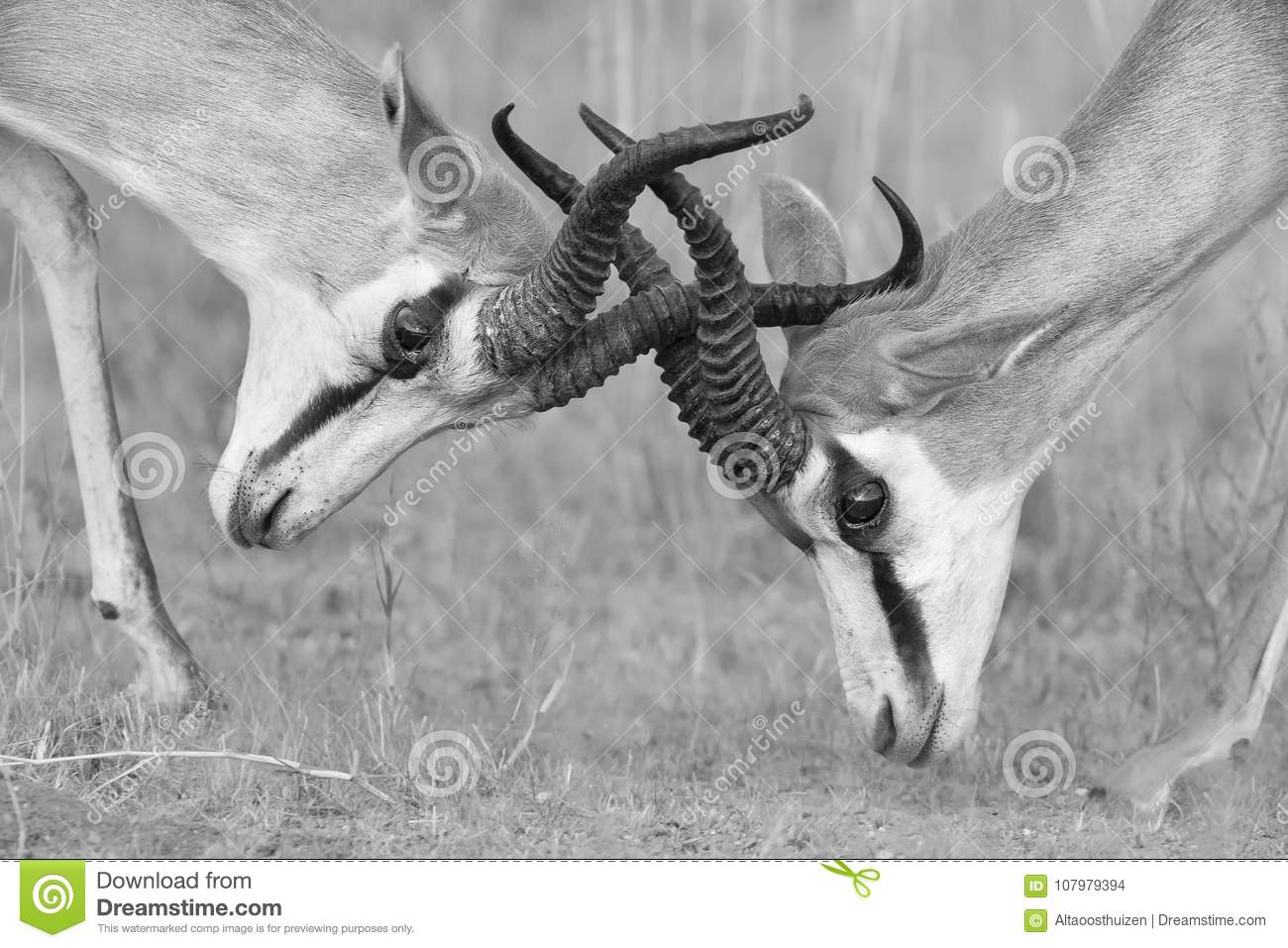 The springbok males sparring for dominance in artistic conversion