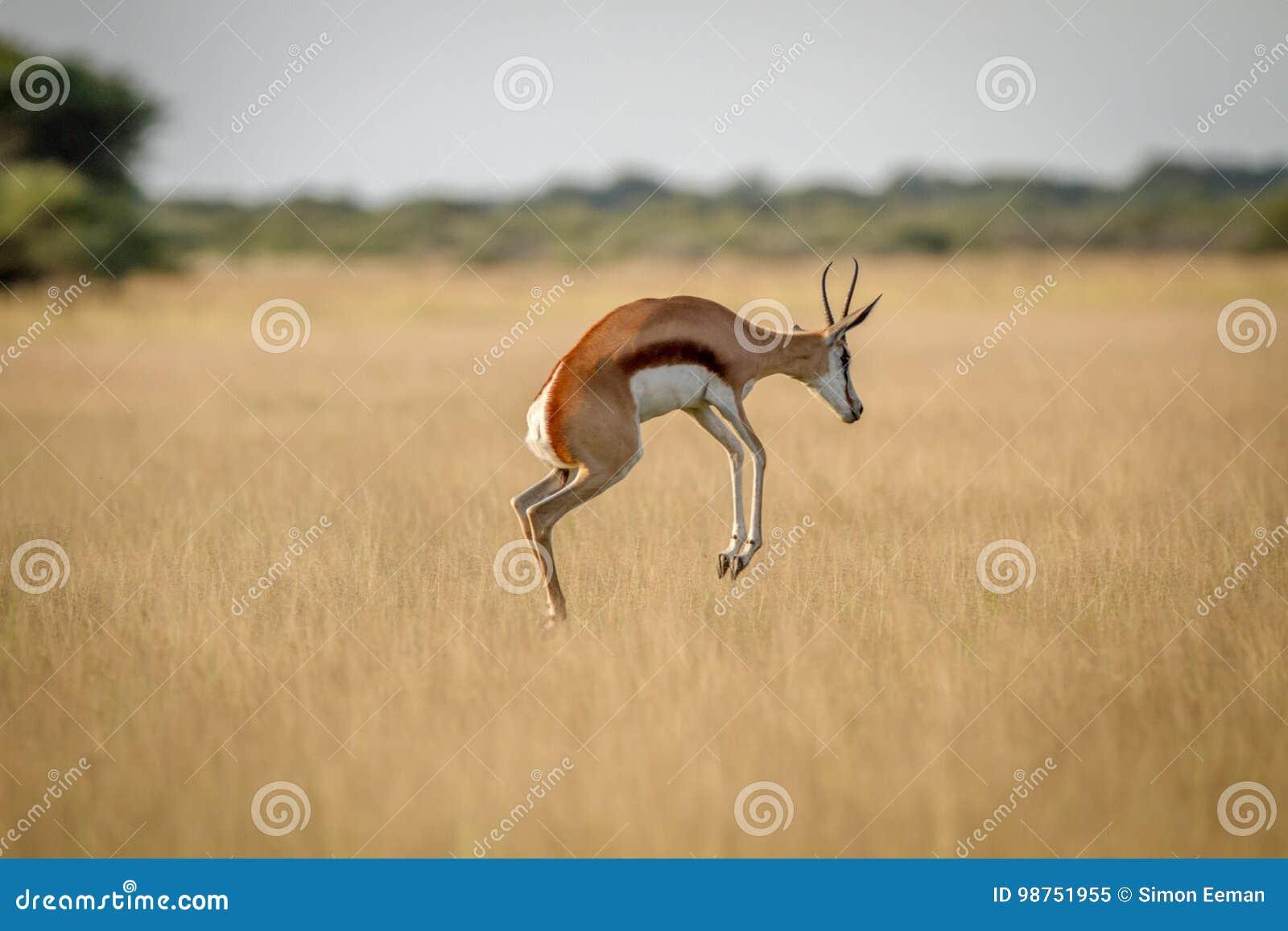 Springbok pronking dans l herbe