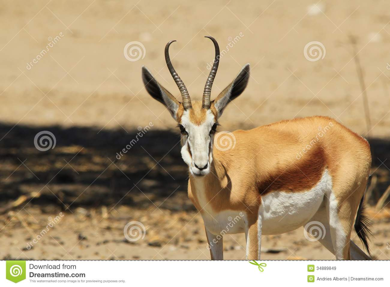clipart springbok - photo #34