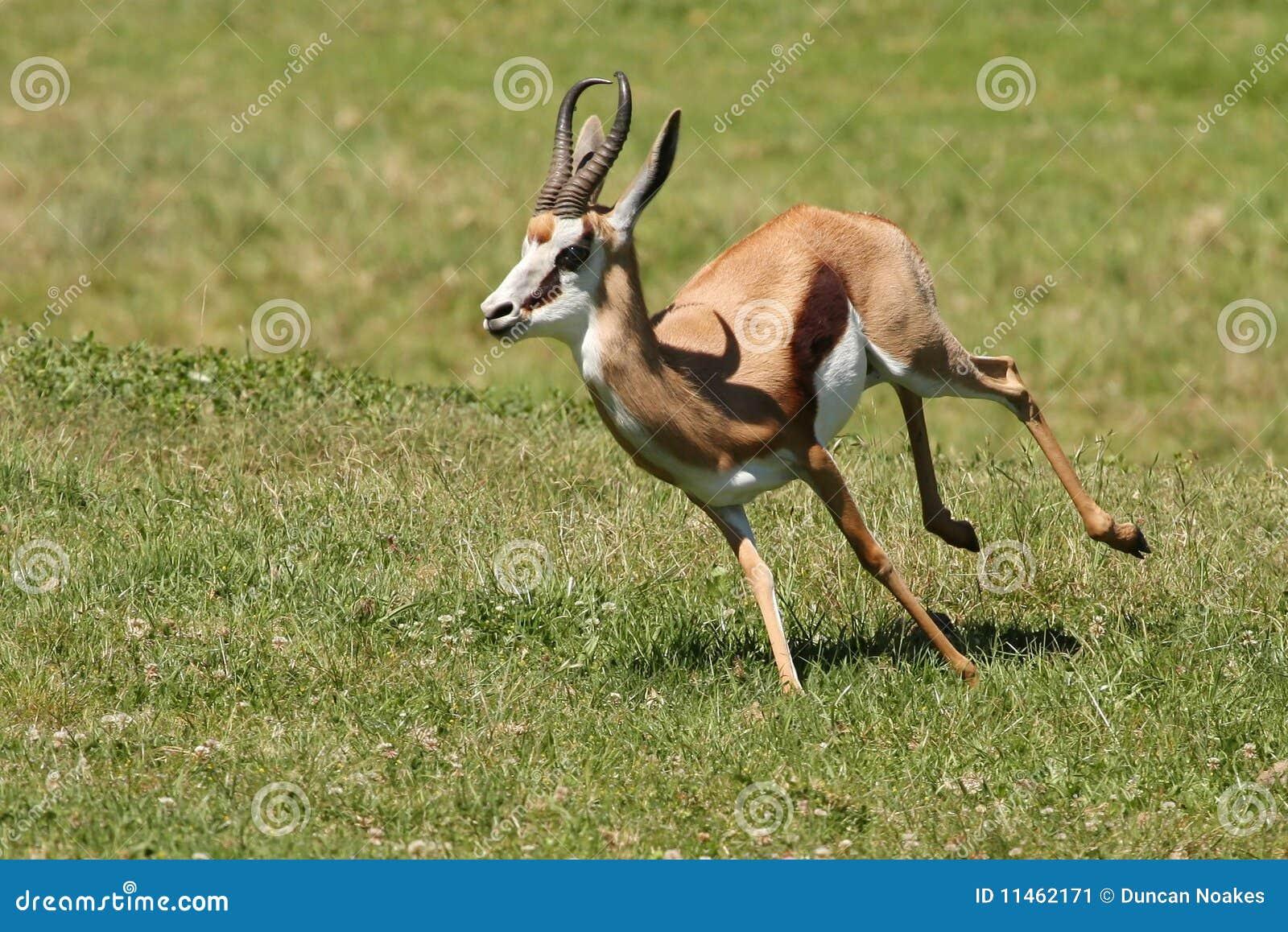 Springbuck Antelope Running Stock Image - Image: 11462171