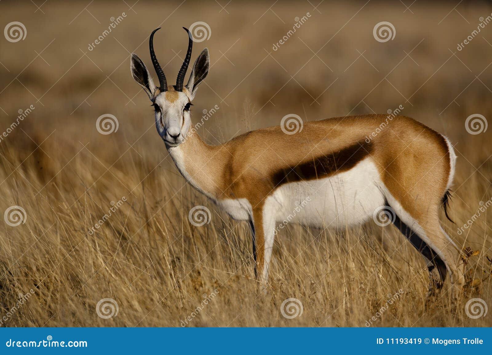 Springbuck female, Namibia