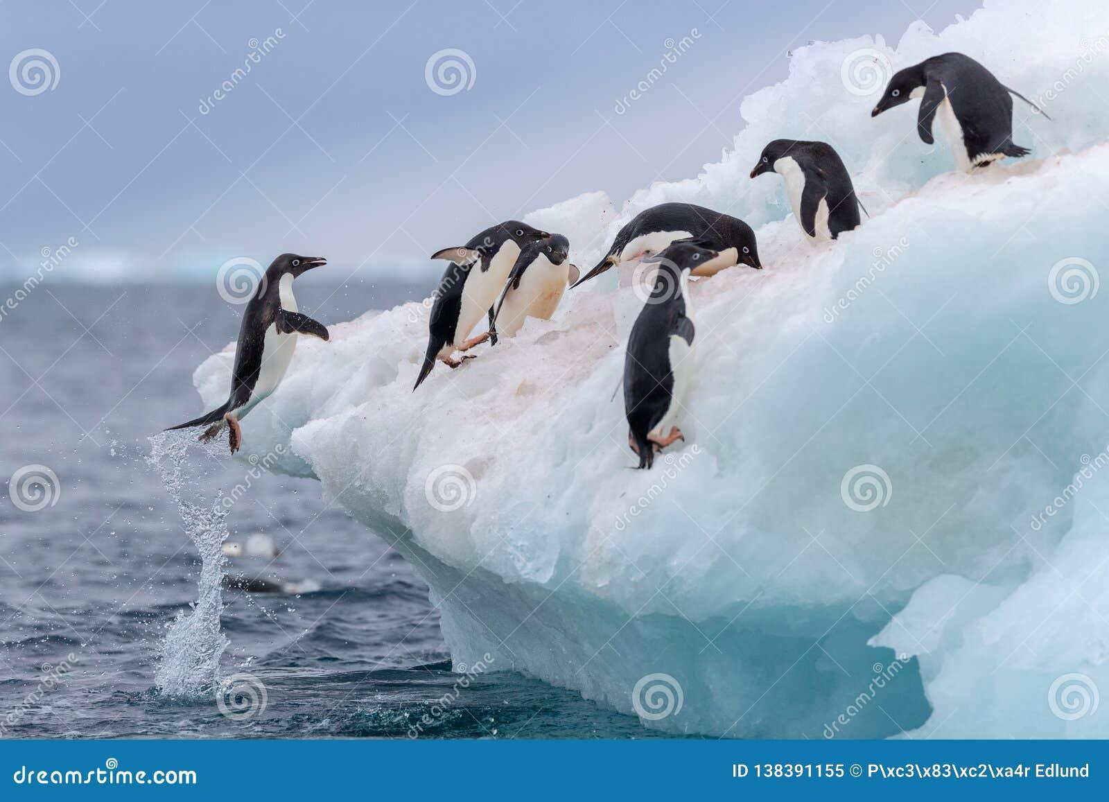 Springende pinguïn Een Adelie & een x28; Adélie& x29; pinguïnsprongen op een ijsberg